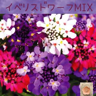 砂糖菓子のように甘く愛らしい♡『イベリスドワーフMIX』花の種50粒(その他)