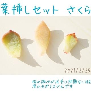葉挿し さくら ( 桜 ) 3枚 セット 訳あり含 未発芽未発根 多肉植物(その他)
