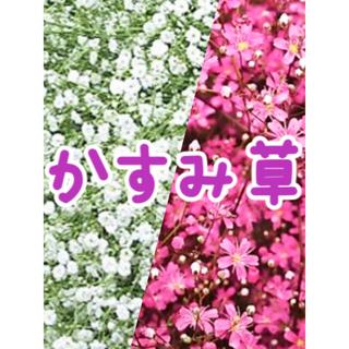 かすみ草の種2種セット★ ピンク色ローズかすみ草・ホワイト宿根八重かすみ草(その他)