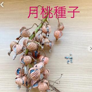 月桃の種子120粒(その他)