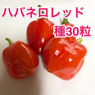 ハバネロレッド 種 たね 30粒(野菜)