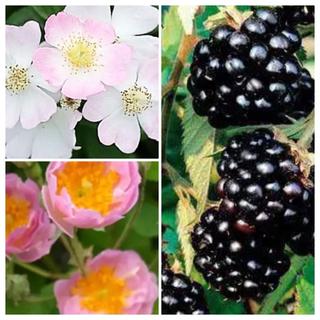🌹🌹ブラックベリー1苗🌹🌹おまかせ野薔薇1苗🌹🌹🌹🌹🌹(その他)