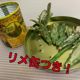 ヒメサンゴ サボテン リメ缶つき(その他)