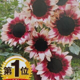 花の種       ひまわり   プロカットプラム(その他)