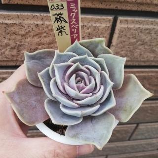 藤紫 おらいさん苗 ミックスベリア 多肉植物(その他)