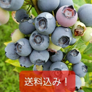 完熟冷凍ブルーベリー【小粒〜大粒】5㌔(フルーツ)