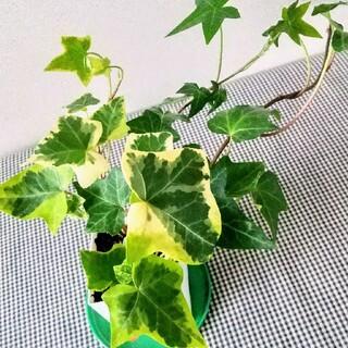 アイビー苗 観葉植物(その他)