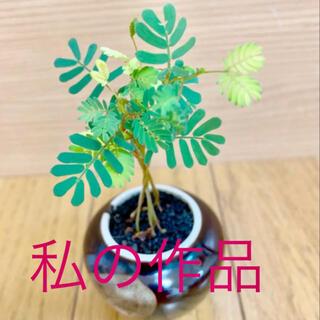 銀葉アカシアミモザ種子25粒 大人気商品(その他)