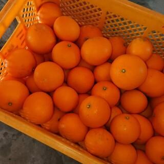 和歌山県産 清見オレンジ 10kg(フルーツ)