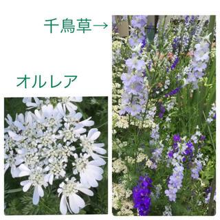 オルレアと千鳥草 種(その他)