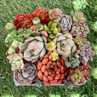 多肉植物カット苗⭐︎ストロベリーアイス、ブラッドブリアナ、ピンクルルビー入り(その他)