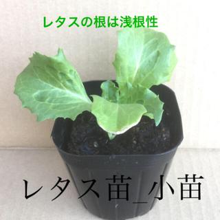 レタス苗_小苗  / 黒マルチ 植え レタスの上に、不織布を掛ける(野菜)