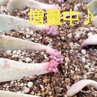 多肉植物 ピンクプリティ♪(その他)