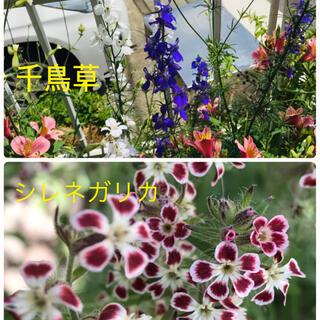 【シレネガリカ】【千鳥草】抜き苗 各2本(その他)