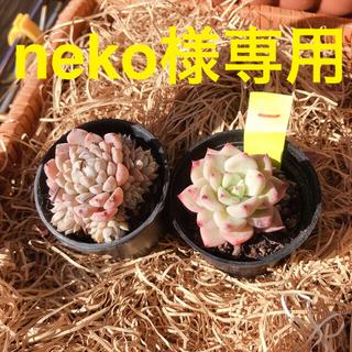 (l)neko様専用Red ZaragosaとMexico Minima(l)(その他)