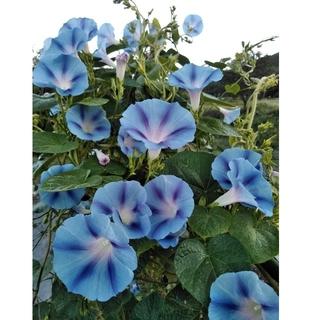 花の種 西洋アサガオの種 ヘイゼルウッドブルーズ(その他)