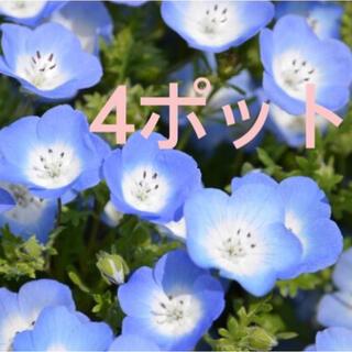 ネモフィラ苗 4センチポット4つ②(その他)