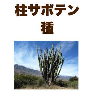 【種子30粒】柱サボテン セレウス フォーべシー cereus forbesii(その他)