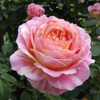 薔薇🌹『クロードモネ』🌹挿し木苗(その他)