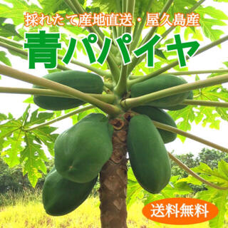 屋久島産 無農薬栽培 青パパイヤ 2㎏ ◆ 採りたて 産地直送(野菜)