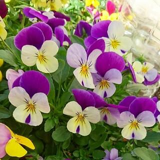 ビオラ ホワイト パープル ウイング 種 園芸 ガーデニング 紫 白(プランター)