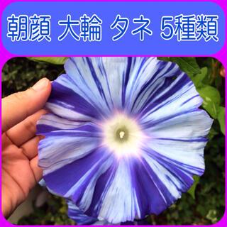 朝顔   アサガオ 種 タネ     大輪  5種 (その他)