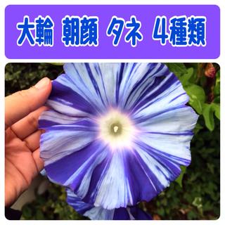 朝顔   アサガオ 種 タネ     大輪  5種(その他)