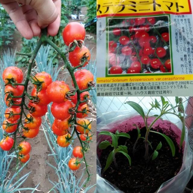 ベランダ菜園に最適!カラフルなミニトマトの種 赤白黄色 10粒ずつ ハンドメイドのフラワー/ガーデン(その他)の商品写真