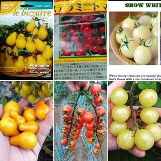 ベランダ菜園に最適!カラフルなミニトマトの種 赤白黄色 10粒ずつ(その他)