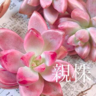 多肉植物 韓国苗 ピーチ姫 葉挿し 1枚(その他)