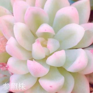 多肉植物 韓国苗 女雛錦 葉挿し 1枚(その他)