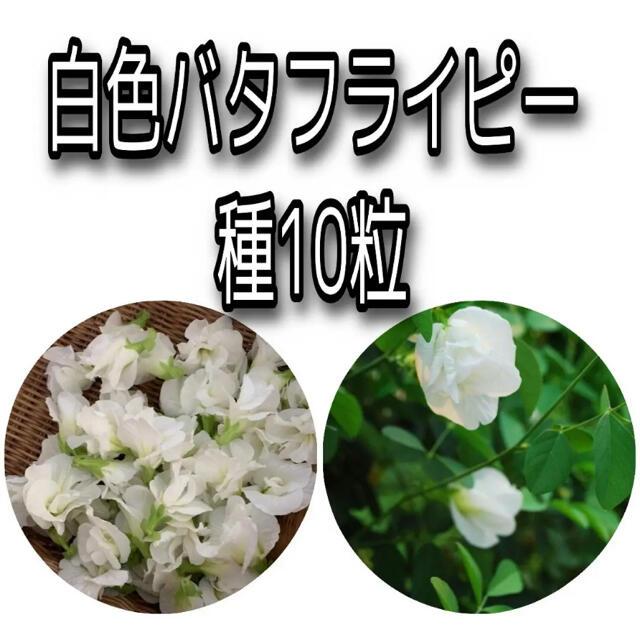 バタフライピー 白 10粒 ハンドメイドのフラワー/ガーデン(その他)の商品写真