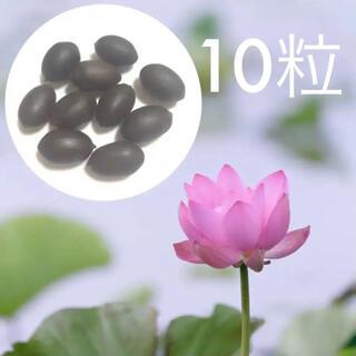【茶碗蓮】蓮の種 10粒【小型種】(その他)