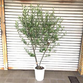 オリーブの木 オリーミー ネバディロブランコ×シプレッシーノ SOUJU 9号(プランター)