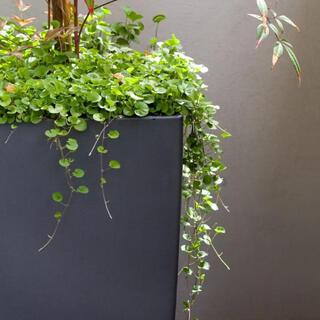 【最安値】ダイカンドラ 36g種子[2平米]お洒落なグランドカバー芝生♪♪(その他)