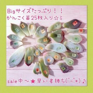 大きめサイズたっぷり!!韓国苗25枚セット★多肉植物(その他)