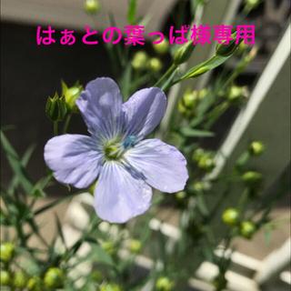 はあとの葉っぱ様専用 花の苗【宿根アマ】抜き苗 6本(その他)
