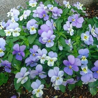 ビオラ 水色のワルツ 種 園芸 ガーデニング フラワーガーデン 観葉植物(プランター)