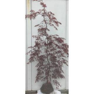 《現品》赤枝垂れ紅葉(アカシダレモミジ)樹高1.9m(根鉢含まず)15【苗木】(その他)