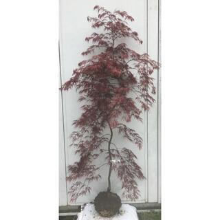 《現品》赤枝垂れ紅葉(アカシダレモミジ)樹高1.7m(根鉢含まず)16【苗木】(その他)