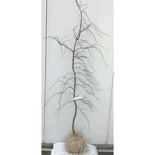 《現品》赤枝垂れ紅葉(アカシダレモミジ)樹高1.7m(根鉢含まず)17【苗木】(その他)