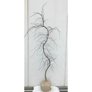 《現品》赤枝垂れ紅葉(アカシダレモミジ)樹高1.7m(根鉢含まず)18【苗木】(その他)