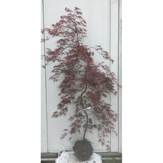 《現品》赤枝垂れ紅葉(アカシダレモミジ)樹高1.7m(根鉢含まず)19【苗木】(その他)