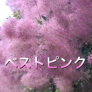 スモークツリー苗ベストピンク苗  苗木   花木(その他)