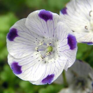 【最安値】ネモフィラ マキュラータ 60粒。お洒落なお花が咲きます。(その他)