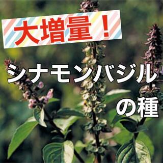 【シナモンの香り‼️】シナモンバジルの種 約80粒 ハーブ バジル 種 タネ(野菜)