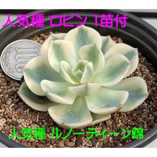 人気種‼️韓国苗‼️多肉植物 エケベリア  ルノーディーン錦5(その他)