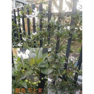 🌸ジャスミンツル性⑥約40cmしっかり根付き苗+ご希望で挿し穂2本(茶◆)(プランター)