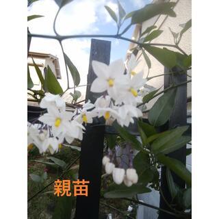🌸ジャスミンツル性⑦50cm以上3本立て根付き苗+ご希望で挿し穂2本(緑◆)(プランター)