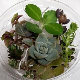 多肉植物  白牡丹 アロマティカス 胡蝶の舞など…(その他)